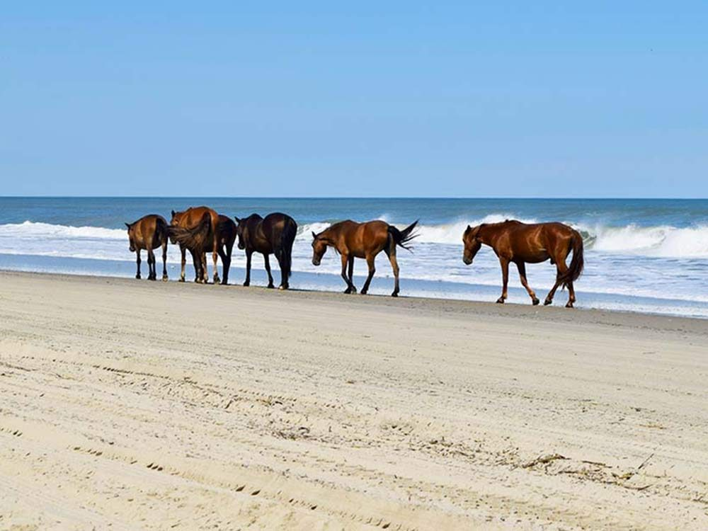 Wild horses in Outer Banks, North Carolina