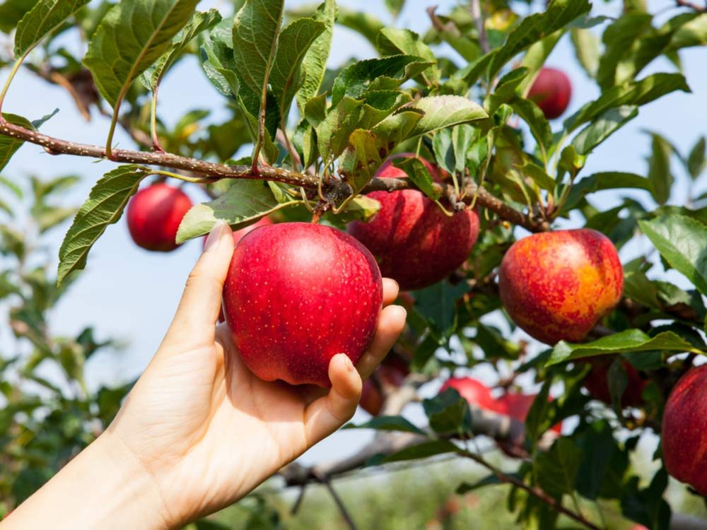Fresh apples growing on tree
