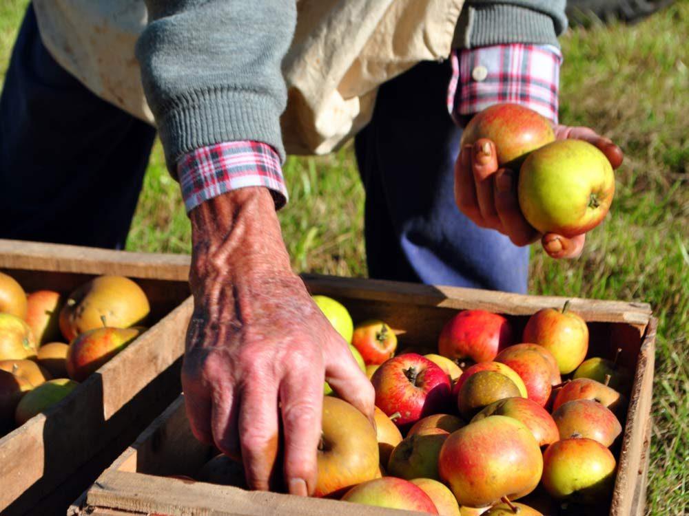 Man sorting through apples