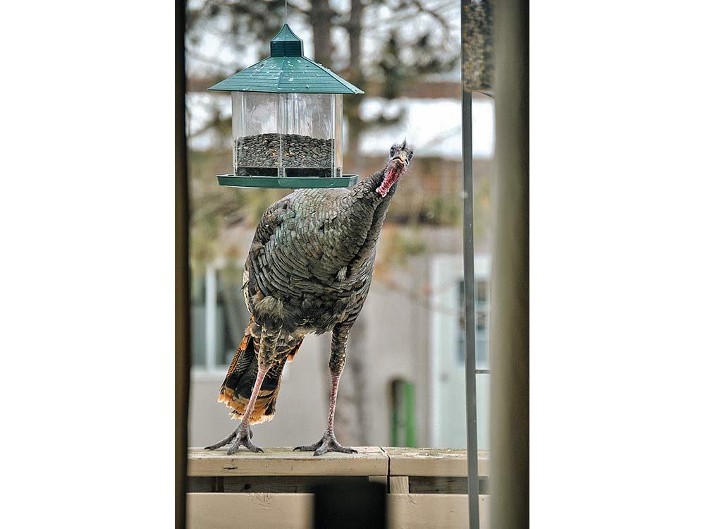 Turkey using bird feeder