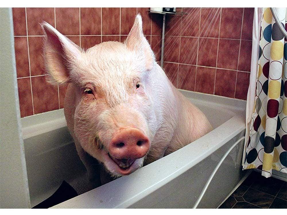 Esther the wonder pig having a bath