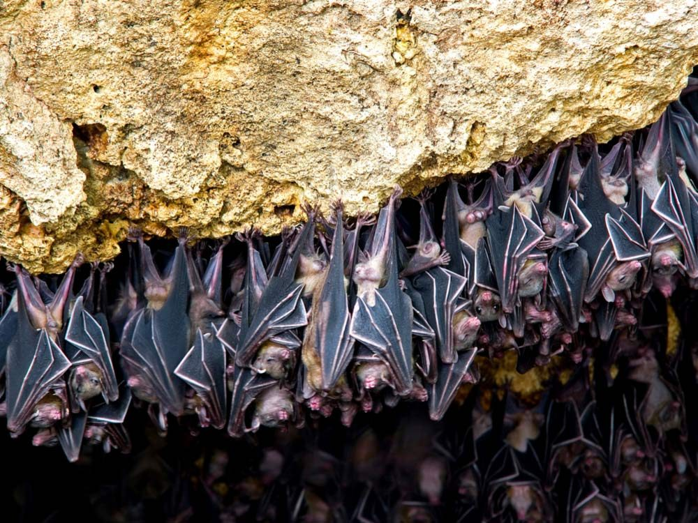 Bats hanging in cave