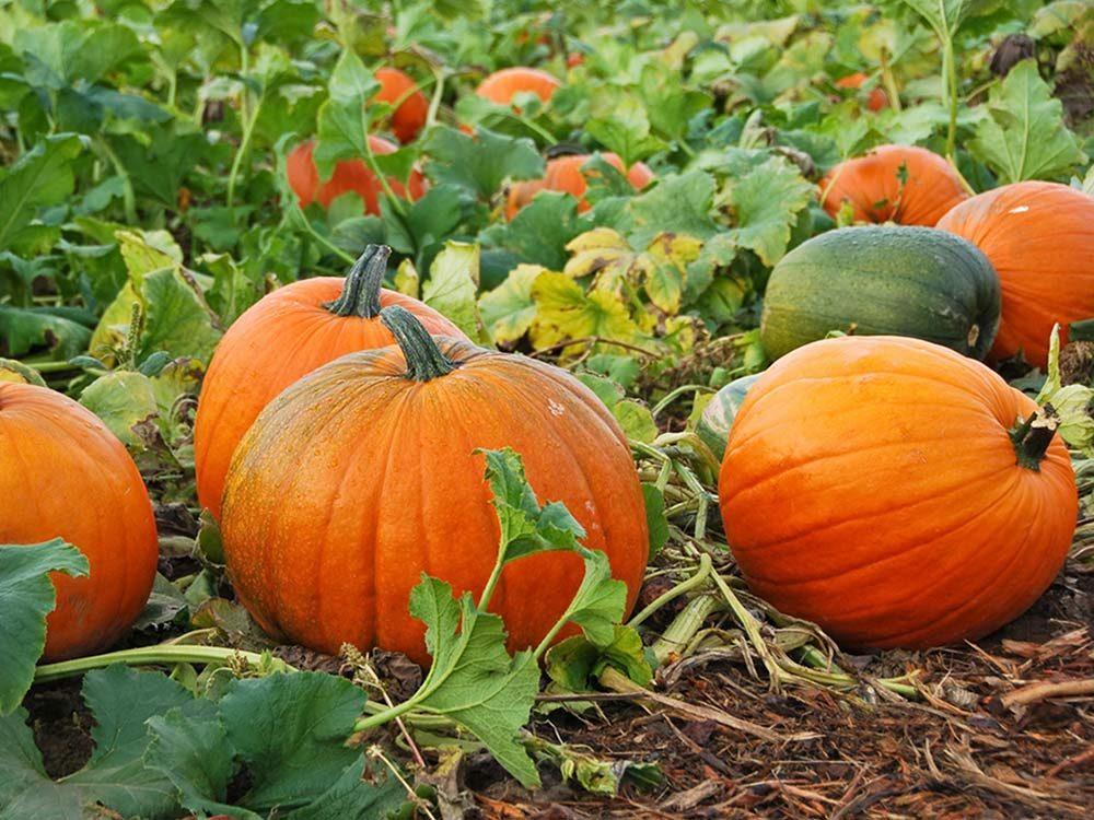 New Hampshire Pumpkin Fest