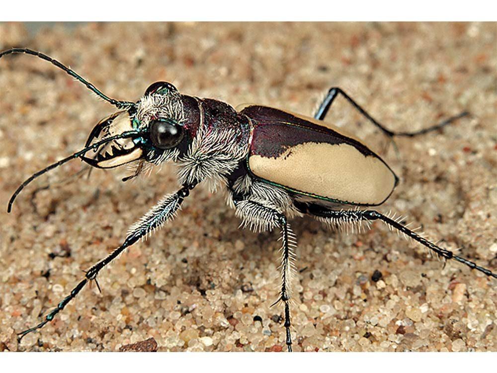 Wild beetle
