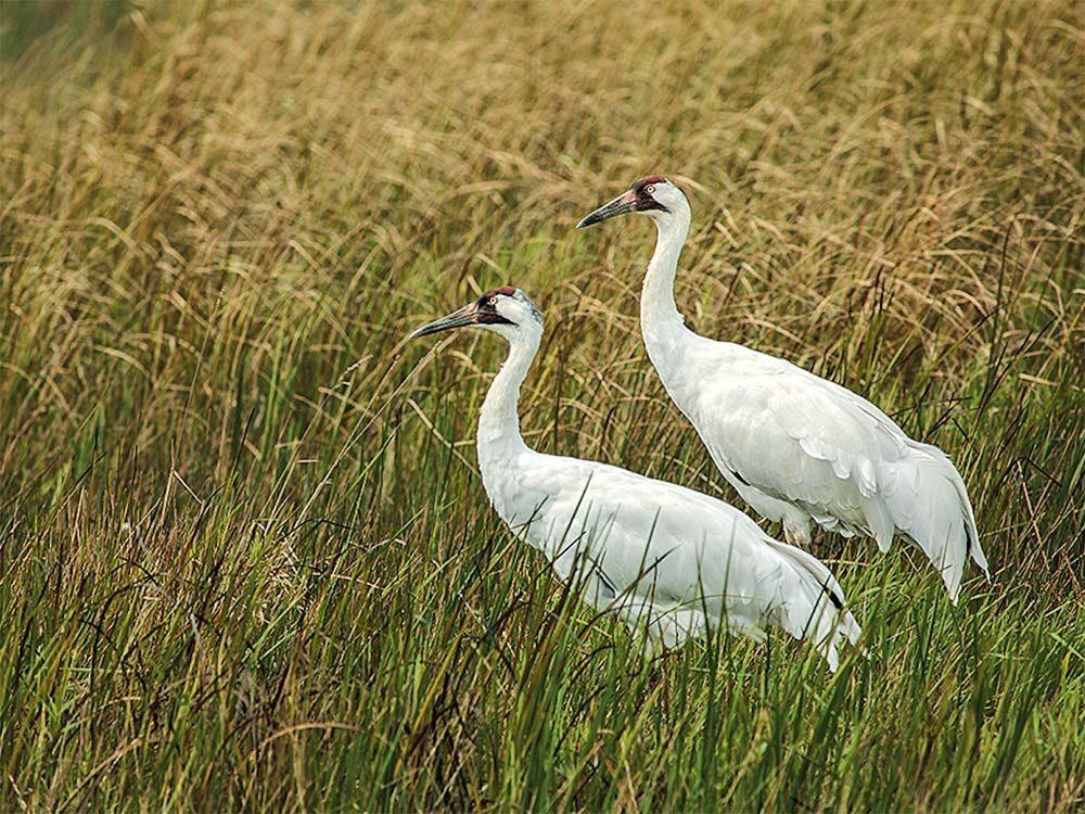 A pair of cranes