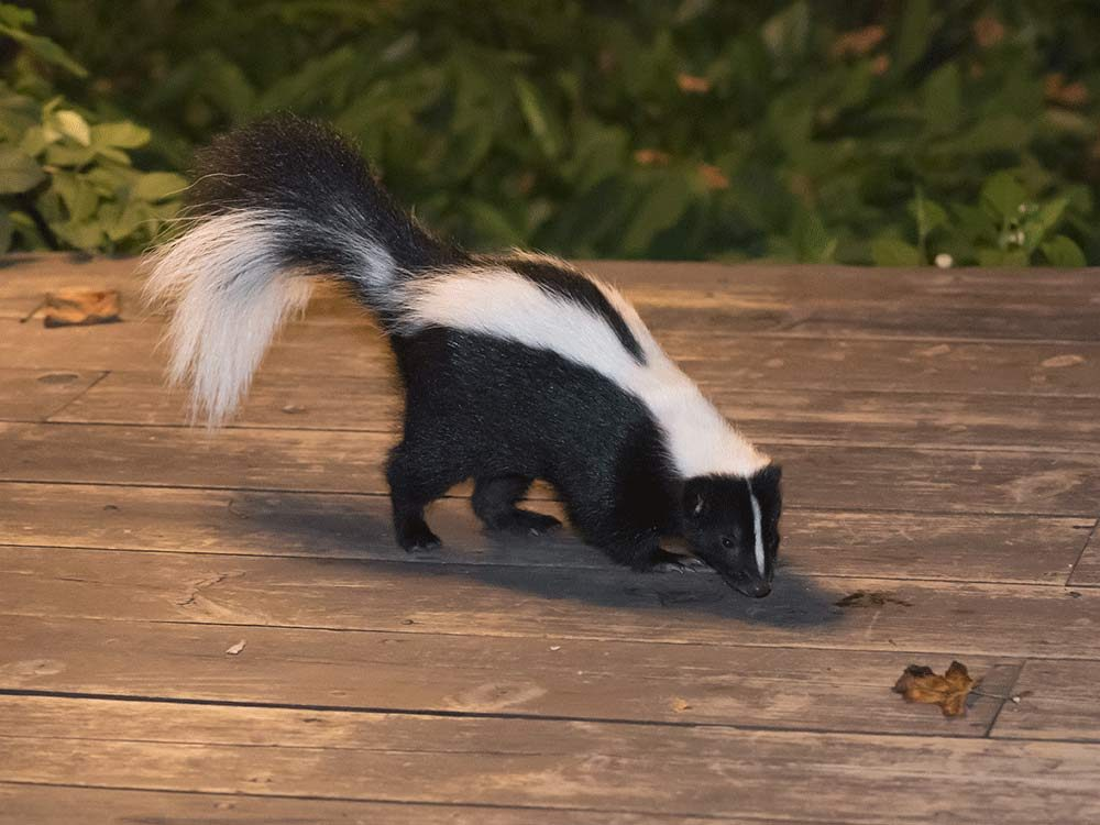 Skunk outdoors