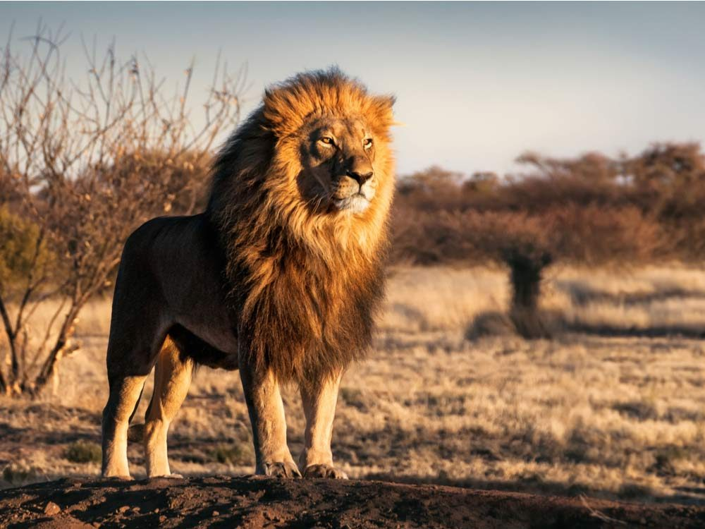 Lion in jungle