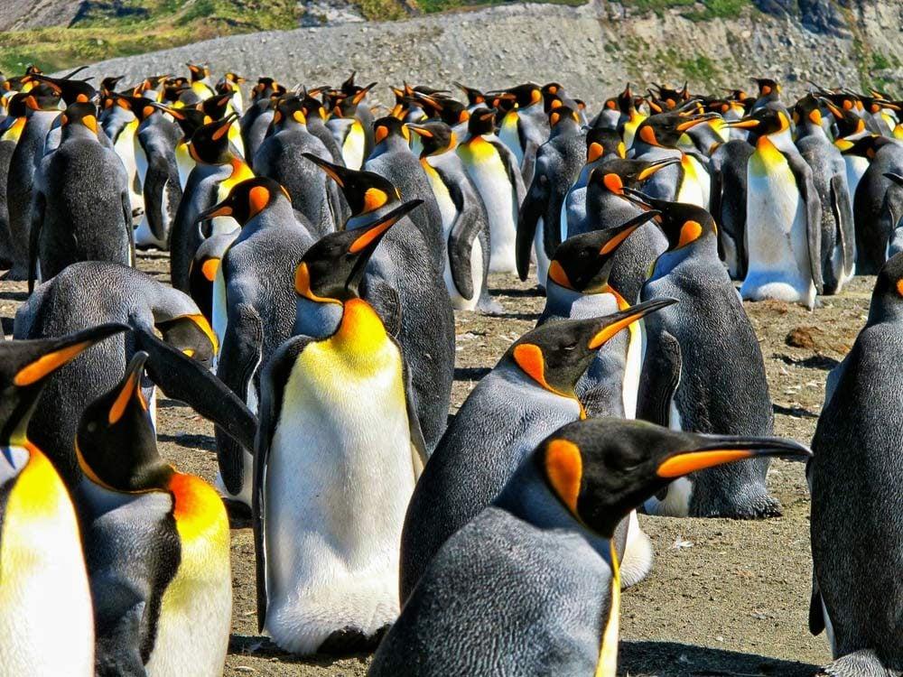 Male Emperor penguins