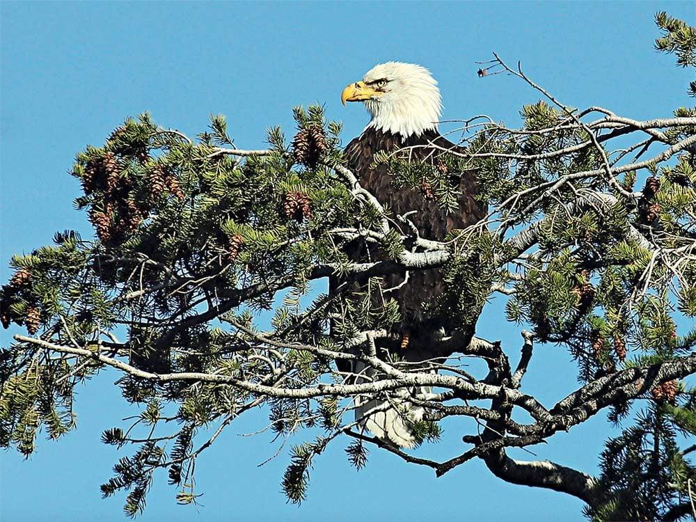 Bald eagle in Knox Mountain