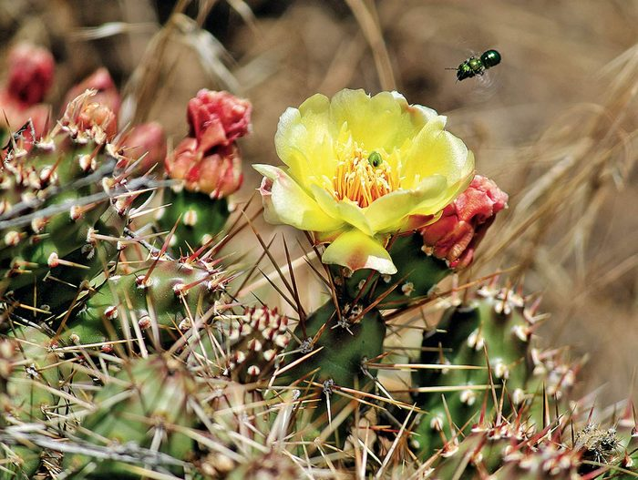 Cactus in bloom in Kelowna