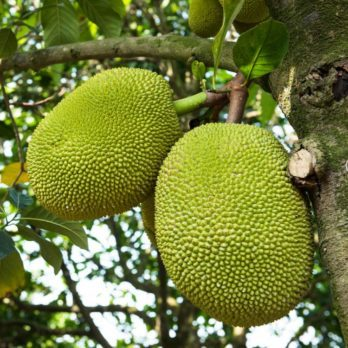 What Is Jackfruit and Why Is It the New Meat Replacement?