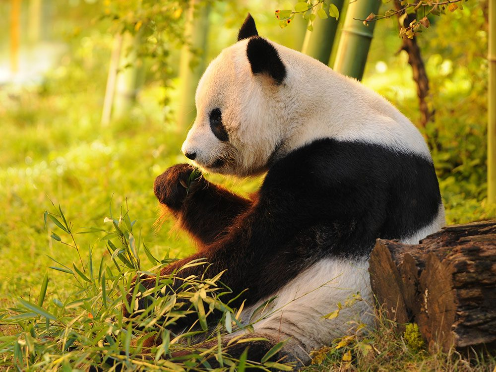 A new world for giant pandas