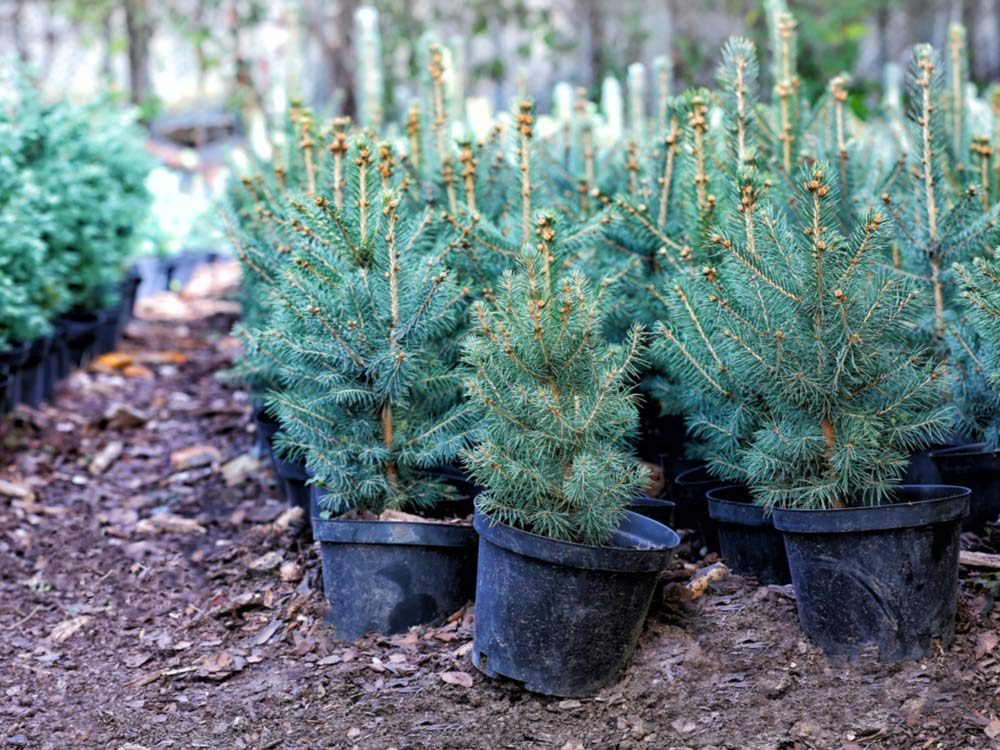 Young evergreen trees