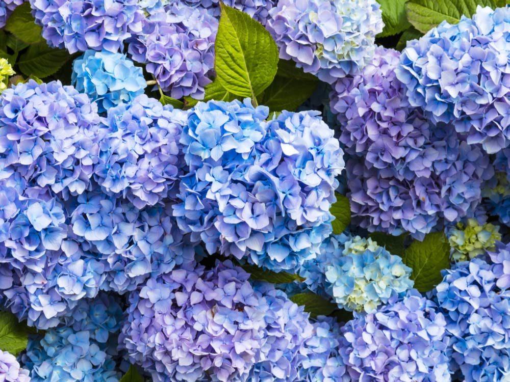 Blue hydrangeas