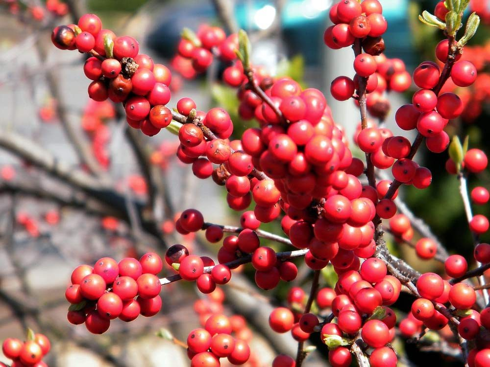 Red winterberry branch