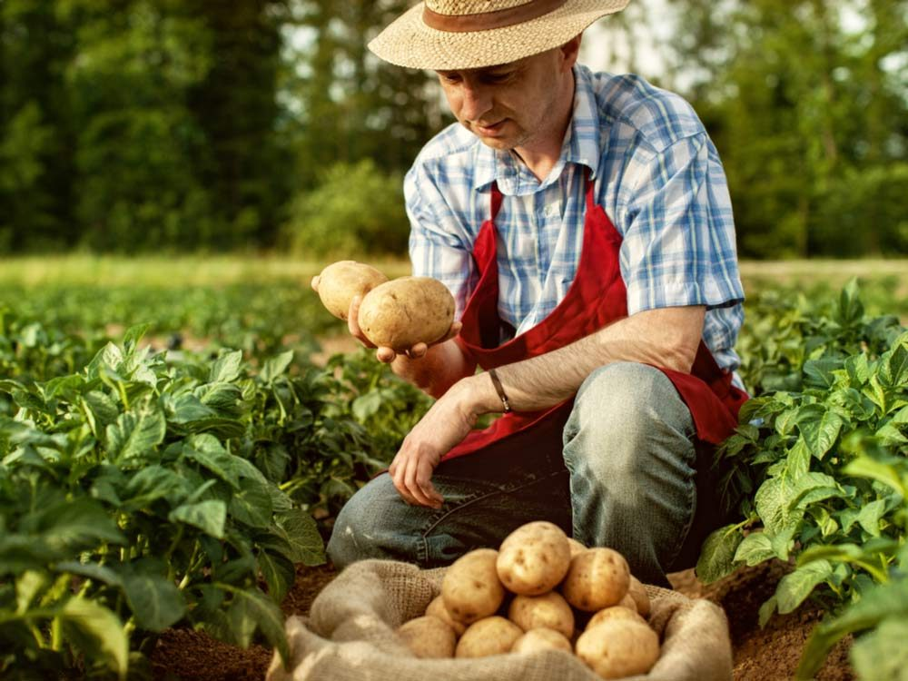 Famers harvesting potatoes