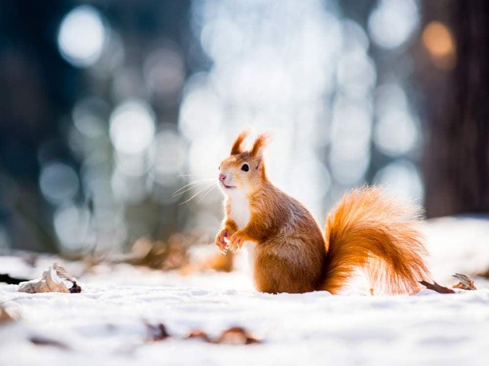 Red squirrel in winter landscape