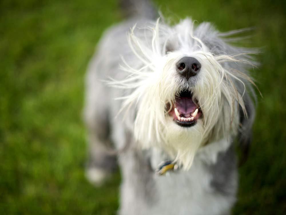 Bearded Collie dog barking