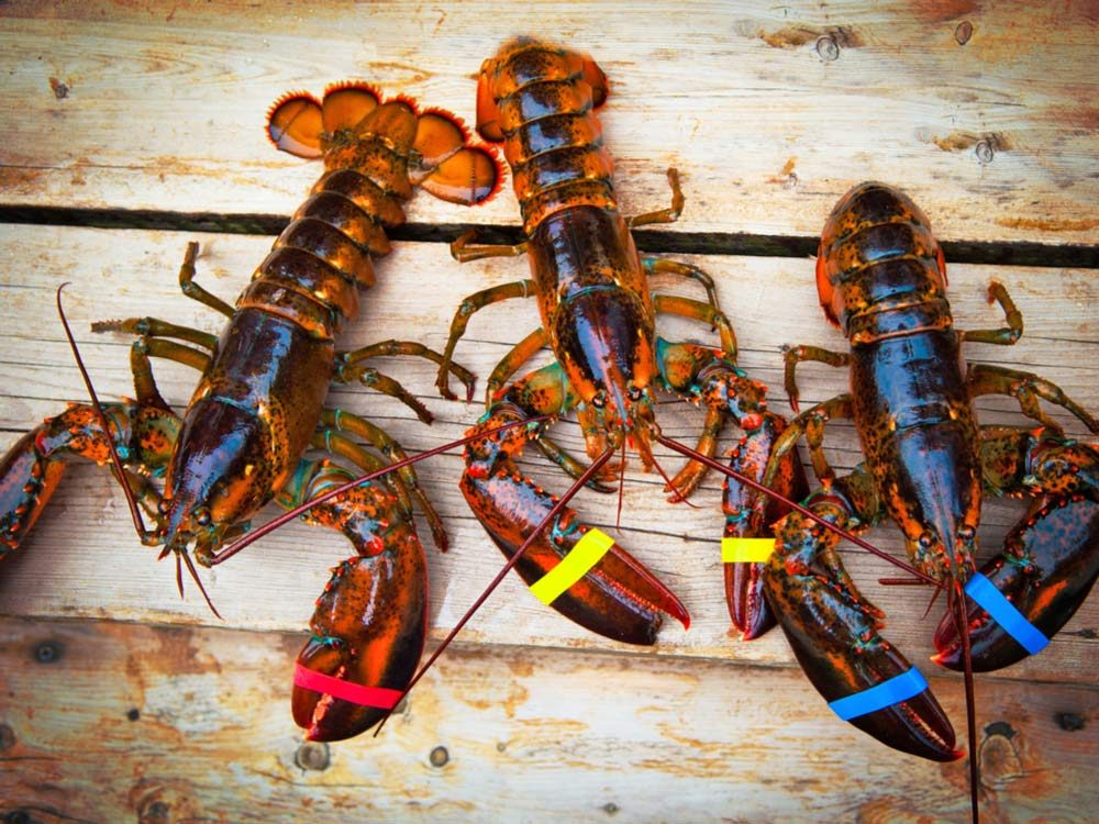 Three Maritime lobsters