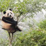 Can Giant Pandas Return to the Wild?