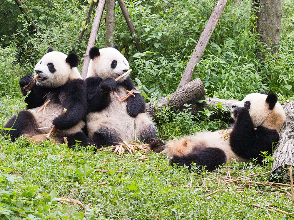 Reclaiming land for giant pandas