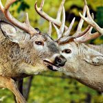 Canadian Wildlife on Camera: Photographing Deer in Rutting Season