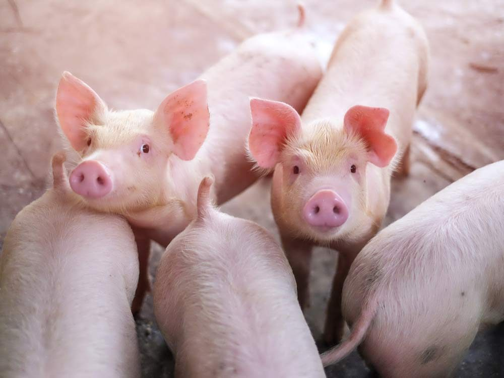 Pigs in Thailand