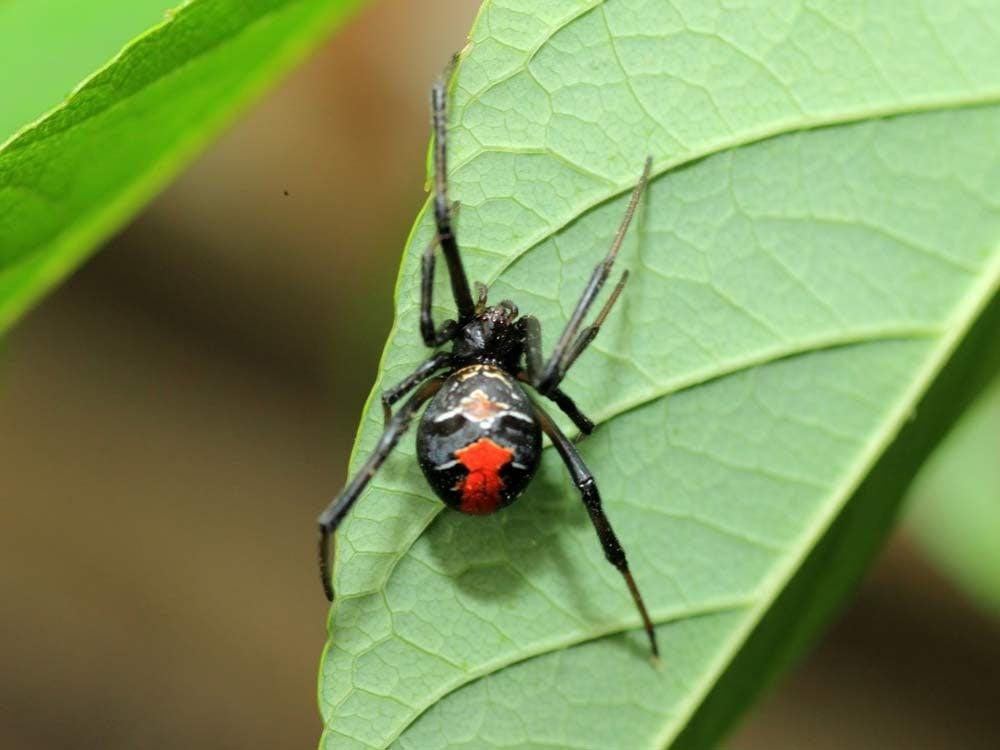 Red back spider on leaf