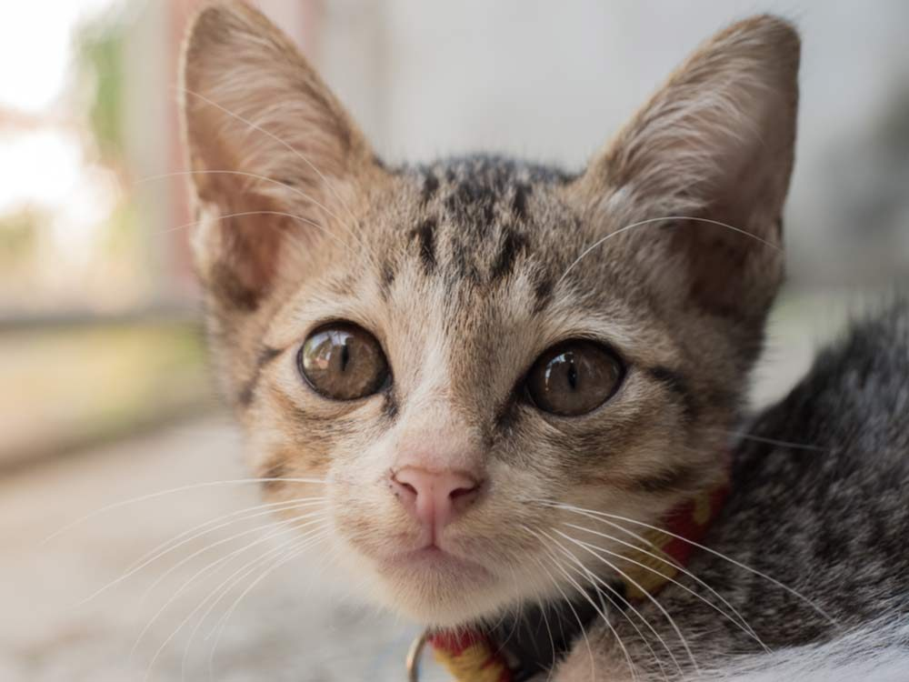 Cat lick vinyl cancer