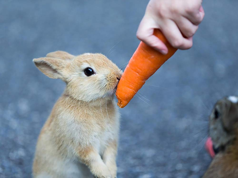 Feeding carrot to a bunny