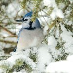 Bird Watching in Your Own Back Yard: Photographing Blue Jays in Winter
