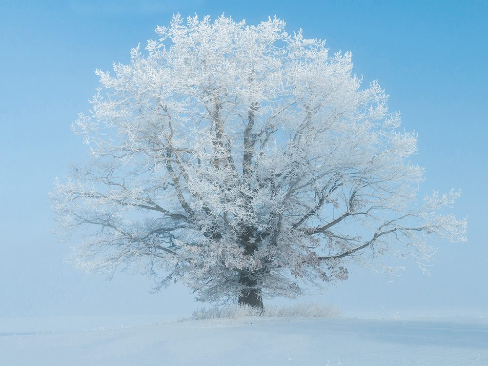 Canadian winter - a frost covered tree