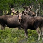 """Why the Plural of Moose Isn't """"Meese"""""""