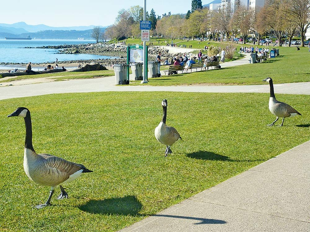 Geese at Stanley Park seawall