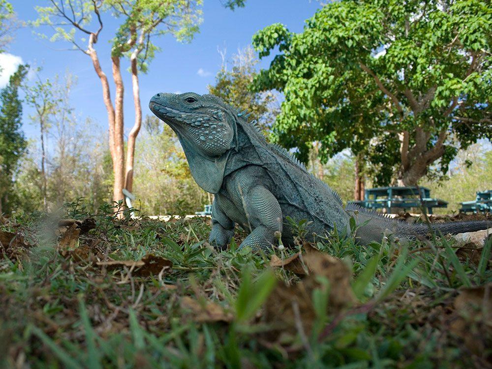 Blue iguana, Cayman Islands