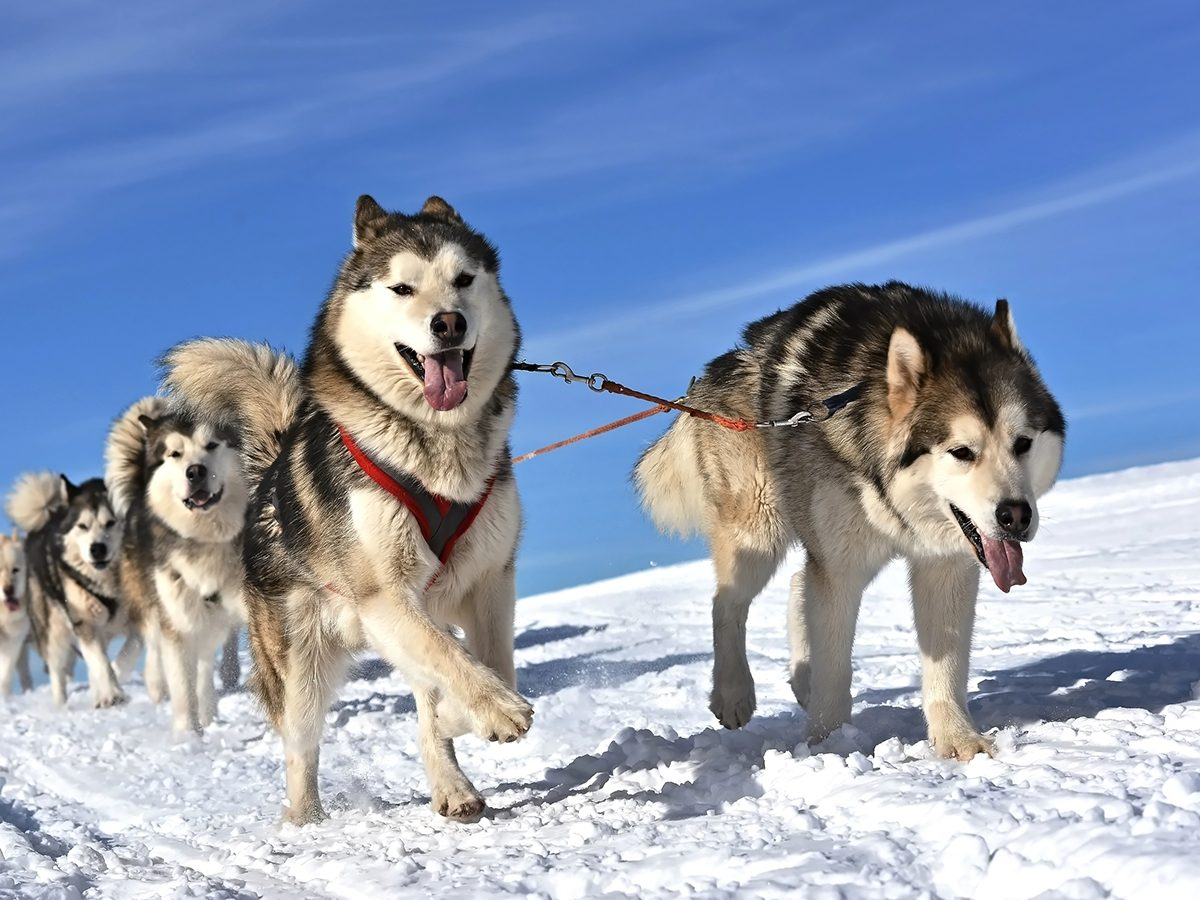 Coldest day in Canada - sled dogs