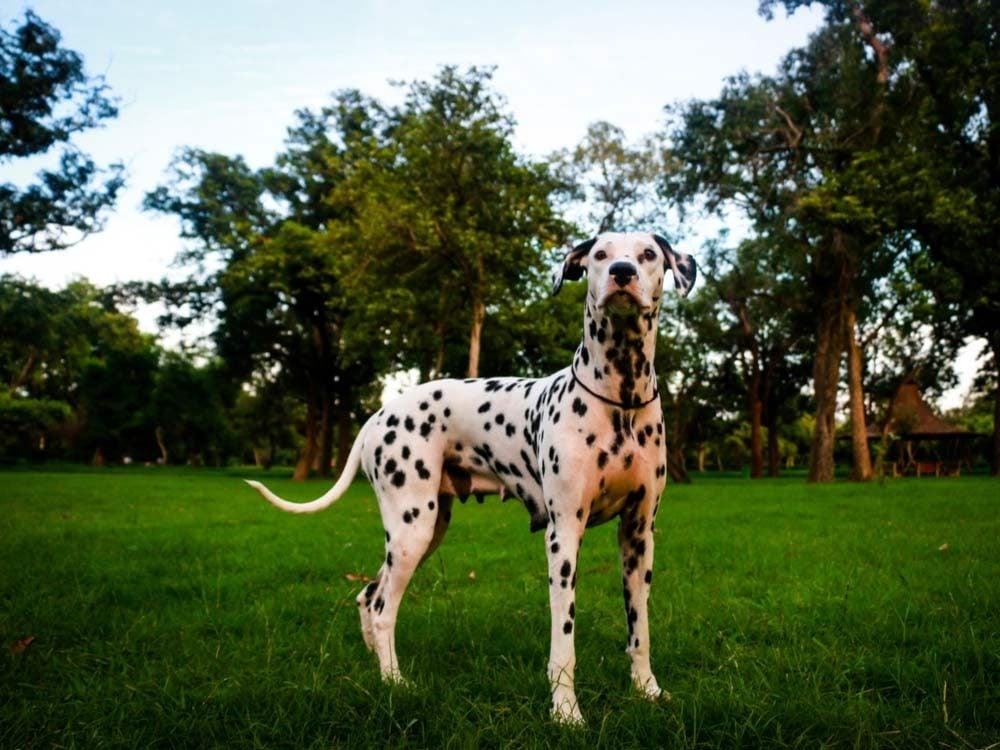 Dalmatian dog in field