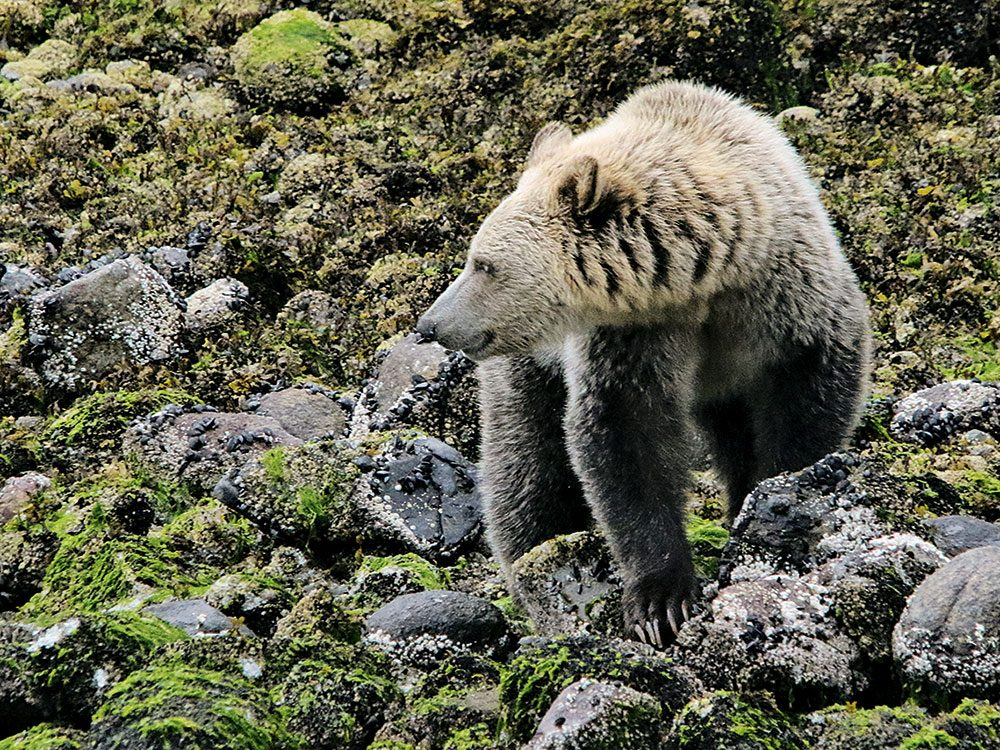 Grizzly bear hunting for crabs
