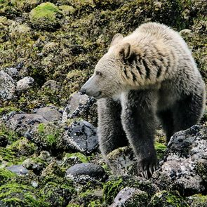 Great Bear Rainforest - Grizzly bear hunting for crabs