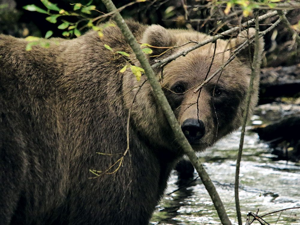 Mother grizzly bear