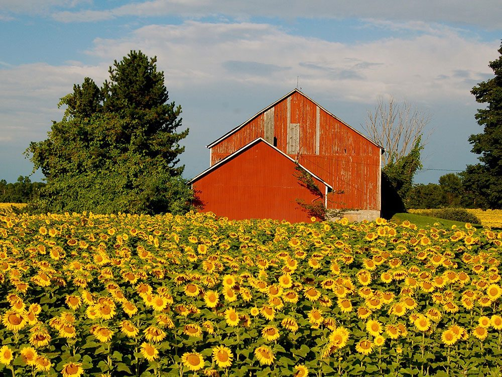 Red barn in a field of yellow sunflowers