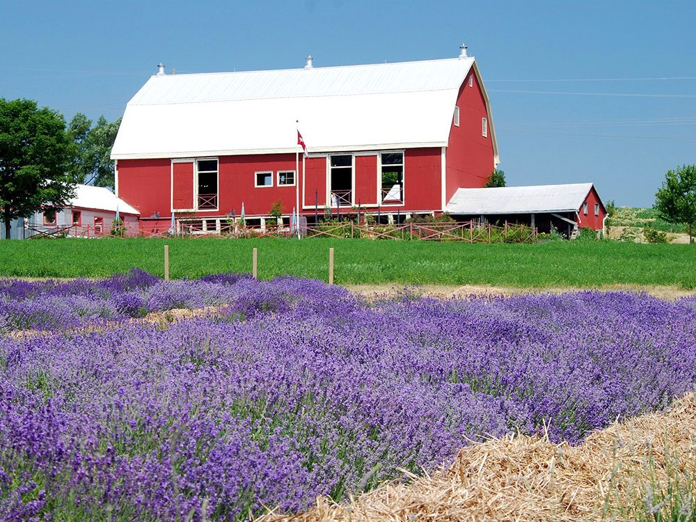 Red barn in lavender field