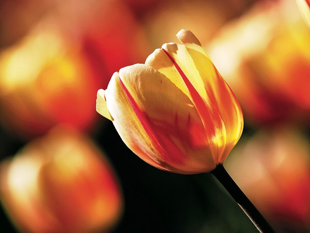 Backlit Tulip bulb