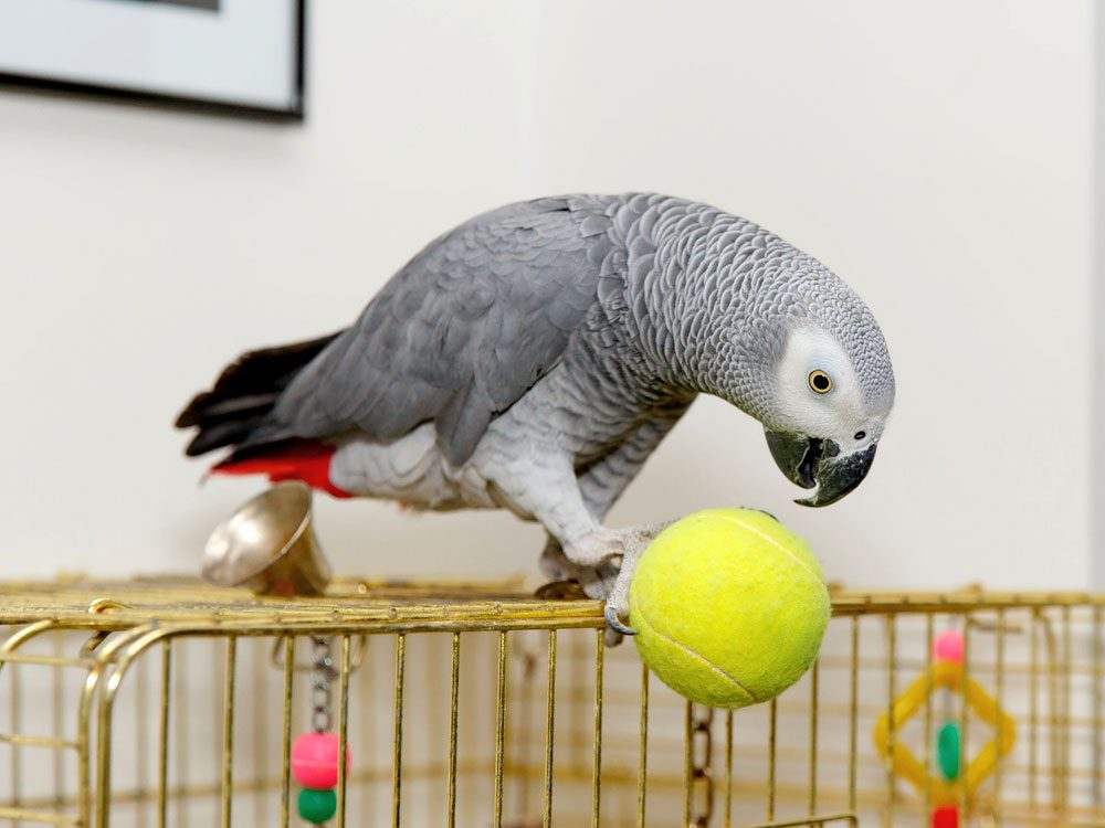 African grey parrot playing with a tennis ball on cage