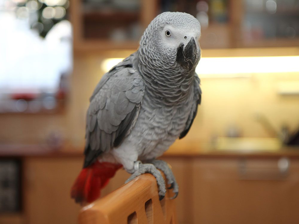 African grey parrot on a perch