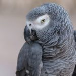 This Parrot Became a Lonely Woman's Best Friend—and Biggest Headache