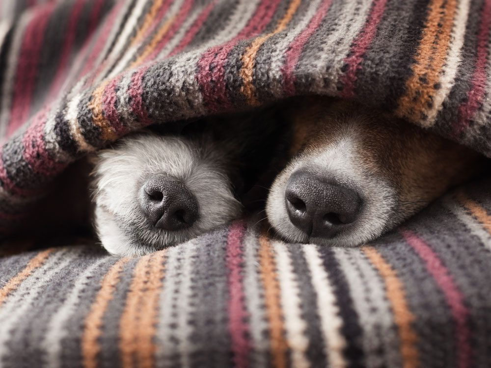 Sibling dogs sleeping undercovers