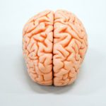 Human brain replica