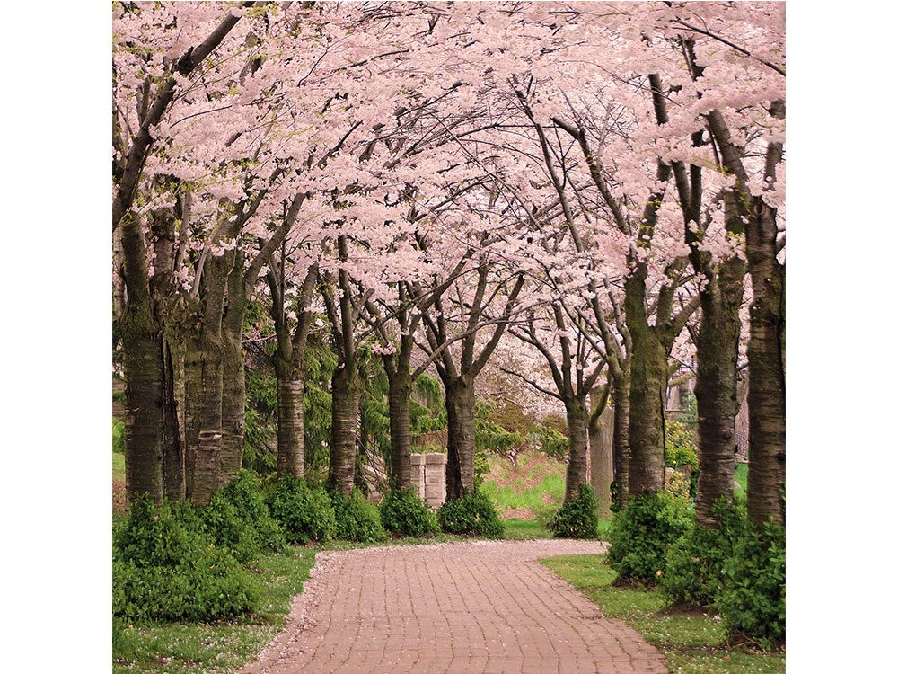 Cherry blossom trees in Spencer Smith Park