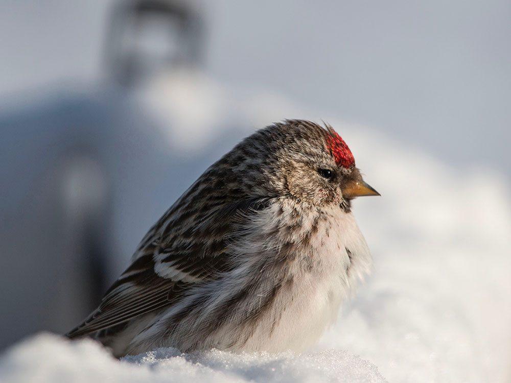 Red poll bird